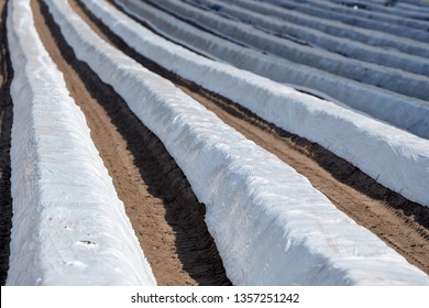 a foil-covered asparagus field for early spring harvest