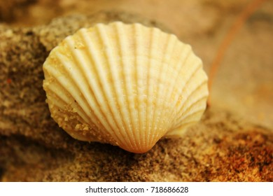 fold clam on a coastal rock closeup on a tropical beach
