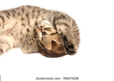 Folding cat isolated on the white
