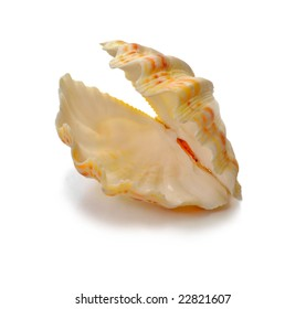 Folding cockleshell of a mollusc which is represented on a white background