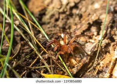 folding door spider or trap door spider
