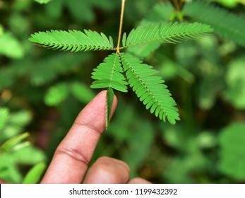 """Folding response or """"sleep"""" or nyctinastic movement of the leaf of Touch me not (Mimosa pudica) plant when touched by finger. Top down view."""
