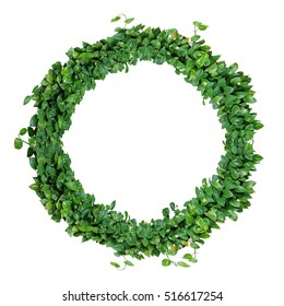 Foliage alphabet letter O, natural green leaves wreath of devil's ivy or golden pothos, isolated on white background.