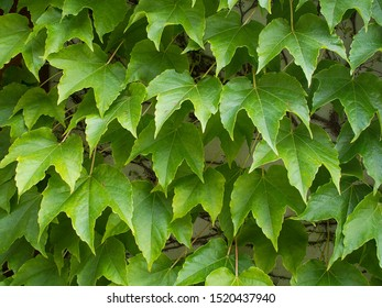 Foliage of Boston ivy (grape ivy, or Japanese ivy, Japanese creeper, or woodbine; Parthenocissus tricuspidata) covering the wall. Boston ivy is a garden creeper,  native to eastern Asia.