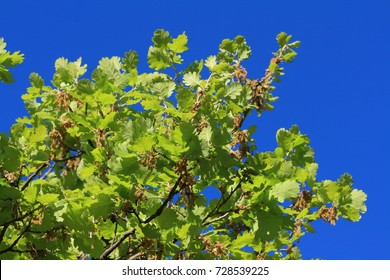 foliage and branch of downy oak or pubescent oak tree in spring, Quercus pubescens