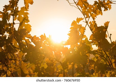 foliage of chianti vineyards in Tuscany with yellow leaves illuminated by the sunset light on the hills of Sienna in Italy