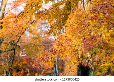 Foliage with fall Autumn leaves on trees in Japan. Karuizawa is a mountain resort town and a shopping street of Nagano Prefecture, Japan