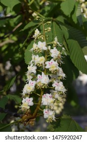 Foliage and flowers of chestnut (Aesculus hippocastanum). Horse-chestnut (Conker tree) flowers, leaf. Spring blossoming chestnut tree flowers.