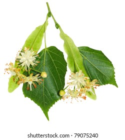 A foliage and flowers of linden is isolated on a white background
