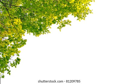 Foliage. Green leaves on a white background. Walnut leaves.