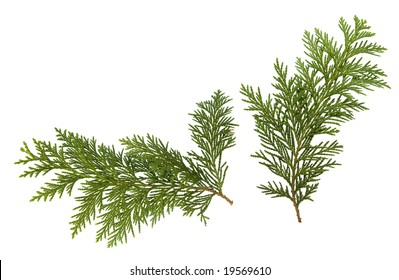 Foliage of Japanese Thuja tree, isolated on pure white background. Copy-space.