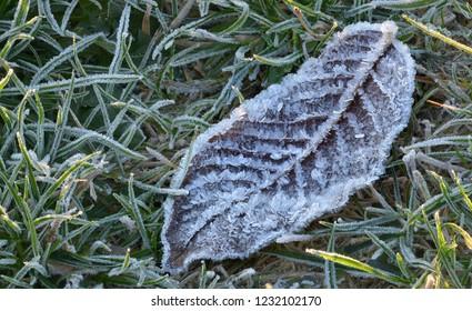 Foliage leaf with hoarfrost