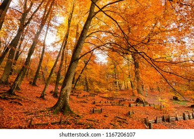 Foliage in Monti Cimini, Lazio, Italy. Autumn colors in a beechwood. Beechs with yellow leaves.