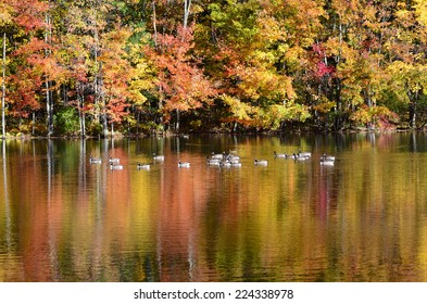 Foliage pond with mallard ducks, Canada geese and vibrant color water surface reflection