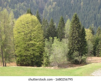 foliage trees in alpine forest