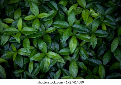 Foliage of vibrant green leaves of periwinkle plant perfect for background
