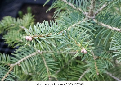 Foliage of White fir ( Abies concolor). Abies concolor is a fir with long, silvery needles. They are soft to touch.