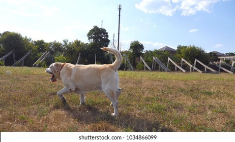 Follow to labrador or golden retriever jogging on the meadow and wagging tail. Beautiful dog walking on the lawn and enjoying nature on a sunny day. Summer landscape at background. Side view Slow mo