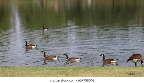 Follow the leader geese taking a swim