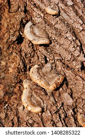 Fomes fomentarius group (tinder fungus, false tinder fungus, hoof fungus, tinder conk, tinder polypore, ice man fungus) growing on poplar trunk with rough bark background, top view