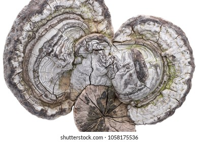 Fomes fomentarius growing on timber, isolated on white background