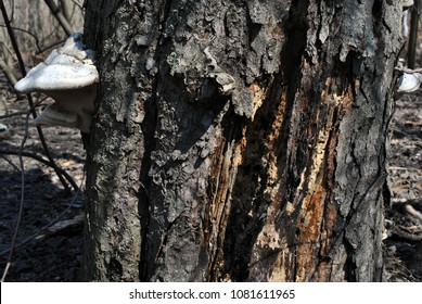 Fomes fomentarius (tinder fungus, false tinder fungus, hoof fungus, tinder conk, tinder polypore, ice man fungus) growing on trunk with rough bark background, spring in wood