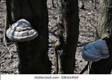 Fomes fomentarius (tinder fungus, false tinder fungus, hoof fungus, tinder conk, tinder polypore, ice man fungus) growing on tree trunks, spring forest background