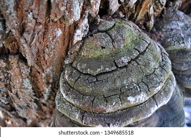 Fomes fomentarius (tinder fungus, false tinder fungus, hoof fungus, tinder conk, tinder polypore, ice man fungus) growing on willow trunk with rough bark background, top view