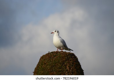 FONTAINEBLEAU, PARIS/FRANCE - DECEMBER 2017: Seagull on the top of a tree, looking around in a cloud day in FONTAINEBLEAU, Paris/FRANCE.