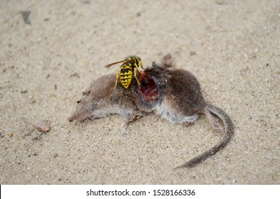 Food chain illustration. Predator wasp eating dead shrew