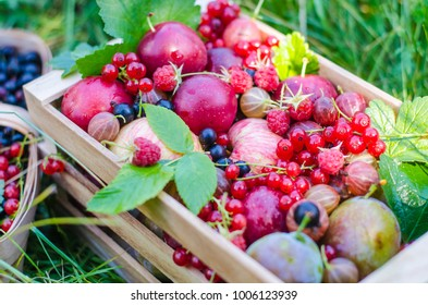 Food. Fresh fruit and berries on a background of nature. Peaches, plums, apples, raspberries, currants, gooseberries, redcurrants.