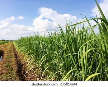 Food, Nature, Fresh sugarcane field in blue sky and white cloud.