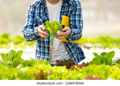 Food organic vegetables hydroponic agriculture. Agriculturist check root fresh salad growing. Farmer using hydroponic cultivation organic vegetable greenhouse.Healthy food vegetables. Organic concept.