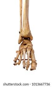 Foot bone, ankle bone For teaching medical students on white floor.