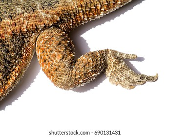 Foot close-up of Bearded Dragon with shadow.