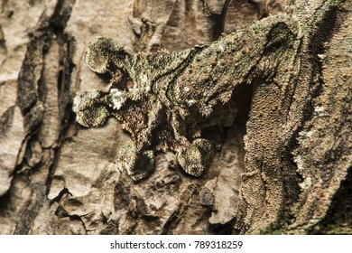 Foot of a Gecko Uroplatus sikorae, showing remarkable capacity of camouflage, Madagascar