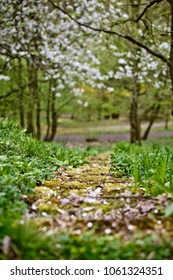Foot Path in the Park in Spring going along flowering trees