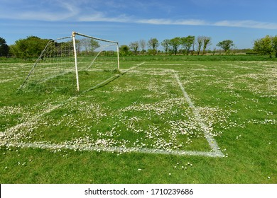 Football pitch Daisies, Jersey, U.K. During the current Covid 19 lockdown wildflowers are carpeting the sports fields.