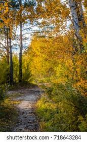 footpath autumn in the birch forest sunny day sunset dawn warmly joyful
