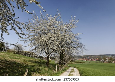 Footpath with cherry trees in Hagen, Lower Saxony, Germany, Europe