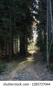 Footpath in a coniferous forest leading to a bright glade in the forest
