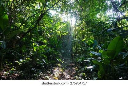Footpath in the jungle of Costa Rica with sunlight through lush foliage, natural scene, Manzanillo, Caribbean