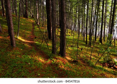 Footpath in the mountain pine forest