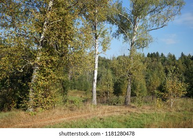 Footpath near birch trees in autumn forest in Moscow region, Russia