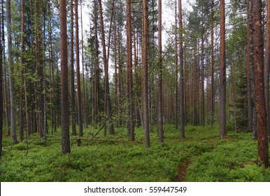 Footpath in a pine forest, a lot of greenery on the ground, straight trunks of pine trees, summer
