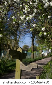 Footpath sign and Crataegus laevigata English hawthorn with white flowers Nr Oakley Village in Hampshire