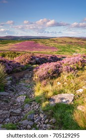 Footpath to Simonside Hills portrait / Popular with walkers and hikers the Simonside Hills are covered with heather in summer, located in Northumberland National Park overlooking the Cheviot Hills