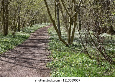 Footpath through a beautiful forest with blossom windflowers