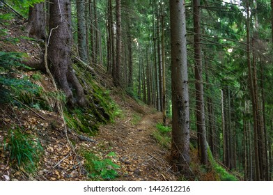 Footpath through a coniferous forest. Pedestrian track, ridge traverse. Roots of trees and green moss surround a narrow path