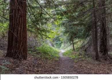 Footpath through lush foliage. Portola Redwoods State Park, San Mateo County, California, USA.